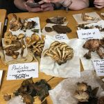 mushroom foraging Loughrea